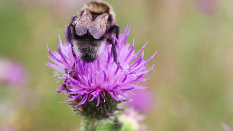 bumble-bee on thistle flower close-up macro Stock Video Footage