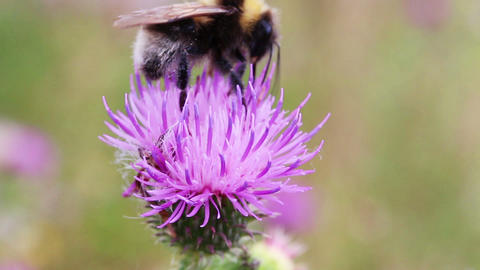 bumble-bee on thistle flower close-up macro Footage