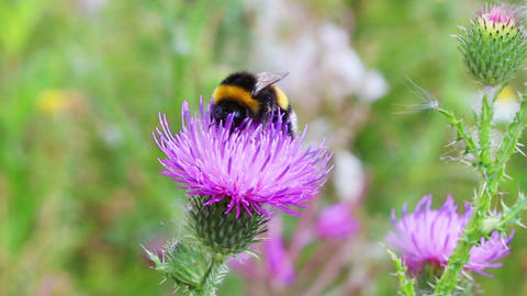 bumble-bee on thistle flower close-up Stock Video Footage