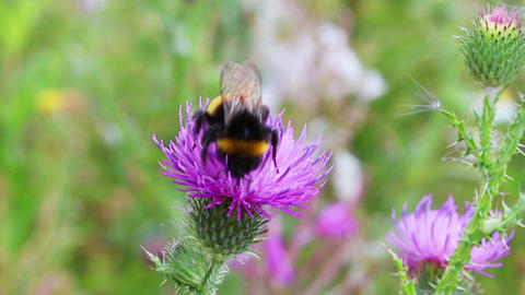 bumble-bee on thistle flower close-up Footage