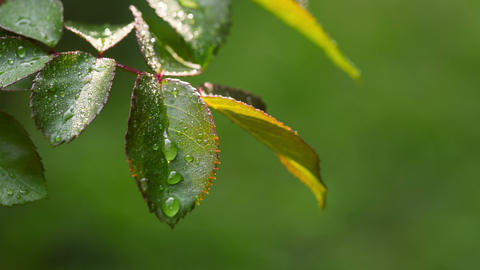 Dew Drops On The Leaves Of Roses. RAW Video 1 Footage