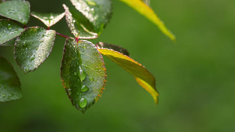 Dew Drops On The Leaves Of Roses. RAW Video 1 Stock Video Footage