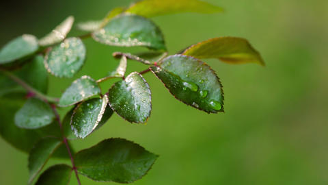 Dew Drops On The Leaves Of Roses. RAW Video 3 Stock Video Footage