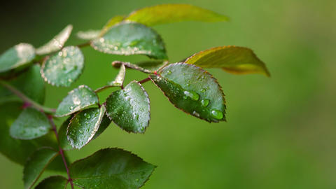 Dew Drops On The Leaves Of Roses. RAW Video 3 Footage