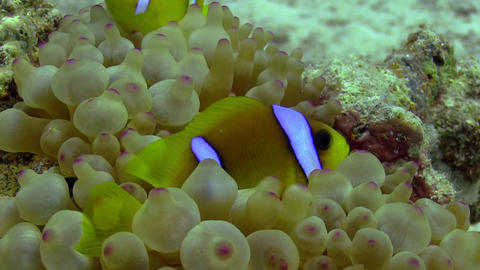 Clown Anemonefish on Coral Reef Stock Video Footage