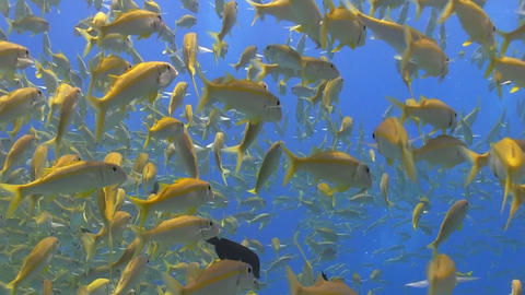 Shoal of Yellow Fish on Coral Reef Footage