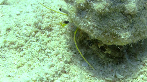 Hermit Crab walking in a coral reef Footage