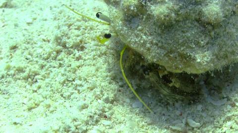 Hermit Crab walking in a coral reef Footage
