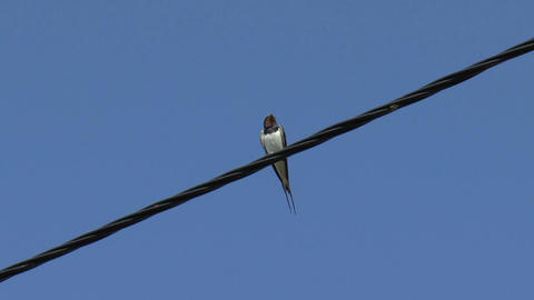 Swallow sitting on a wire Stock Video Footage