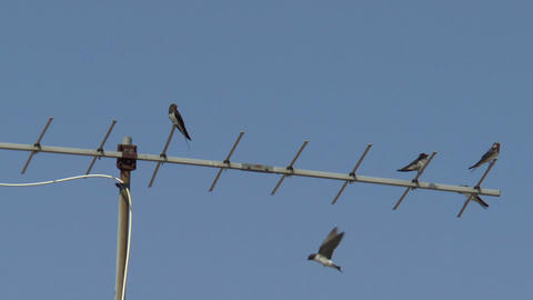 Swallows sitting on a TV antenna Stock Video Footage