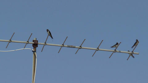Swallows sitting on a TV antenna Footage