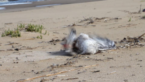 eagull dies because of the littered coast Stock Video Footage
