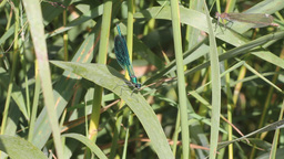 marriage behavior of a dragonfly Stock Video Footage