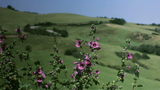 Purple Pink Flowers In Tuscany stock footage