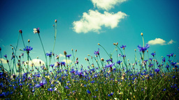 Flowers cornflowers on a summer meadow Animation
