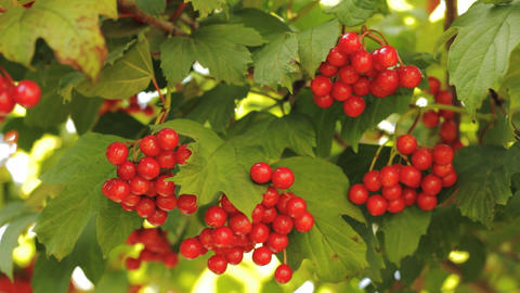 Berries of Viburnum opulus Stock Video Footage