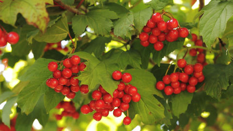 Berries Of Viburnum Opulus stock footage