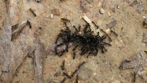 Tropical ants carrying caterpillar Stock Video Footage