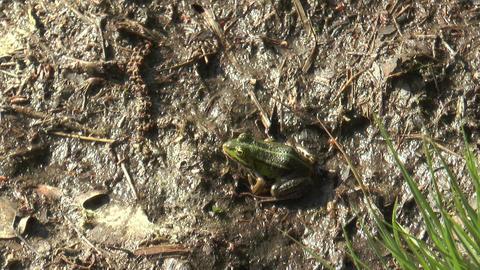 moorfrog jumping away Stock Video Footage