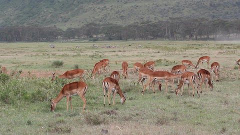 Impala antelopes feeding Footage