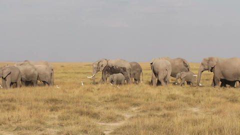 African elephants feeding Stock Video Footage