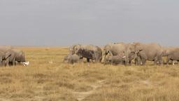 African elephants feeding Stock Video Footage