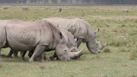 White rhinoceros feeding Stock Video Footage