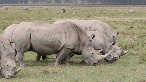 White rhinoceros feeding Footage