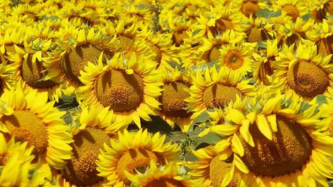 Field of Sunflowers Footage