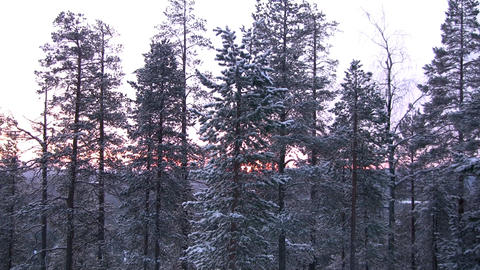 Pine on a background of the coming sun Stock Video Footage
