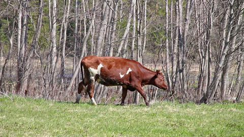 Young brown bull eats first grass Footage