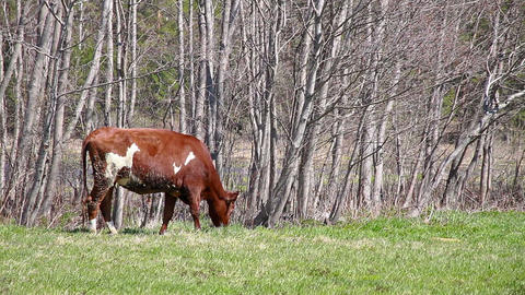 Young brown bull eats first grass Stock Video Footage
