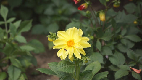 Yellow flower with a midge Stock Video Footage