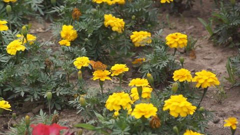 Yellow flowers and a butterly 02 Footage