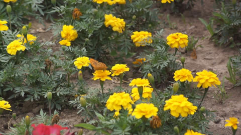 Yellow flowers and a butterly 02 Stock Video Footage