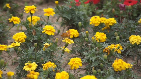 Yellow flowers and a butterly 04 Stock Video Footage