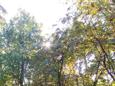 Sun behind the sorbus. Time Lapse Footage