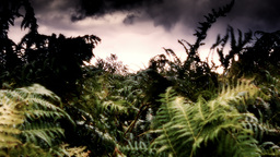 Highland Fern stock footage