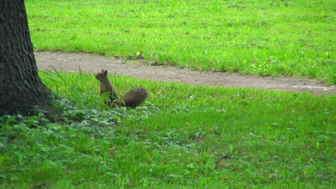 Squirrel jumps on the grass Footage