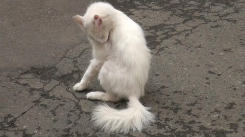 White cat licks his paws Stock Video Footage