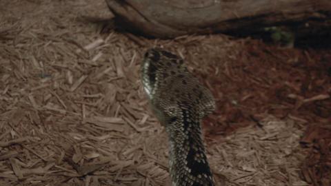 crotalus 02 Footage