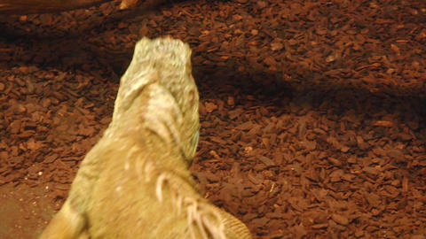 iguana 01 Stock Video Footage