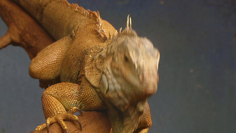 iguana 03 Stock Video Footage