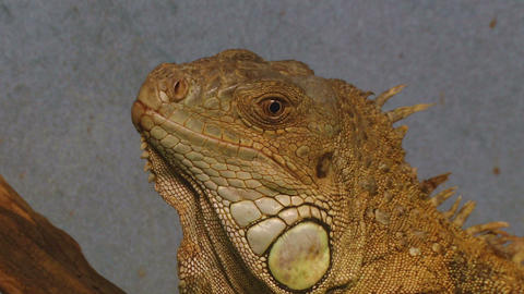 iguana 05 Stock Video Footage