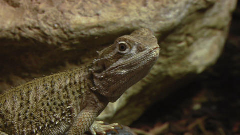 pogona 02 Stock Video Footage
