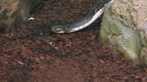water snake 02 Stock Video Footage
