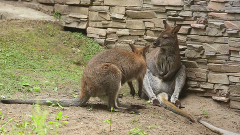 Kangaroos Stock Video Footage