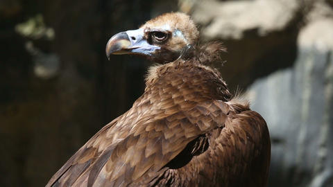 Vulture Stock Video Footage