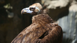 Vulture Live Action