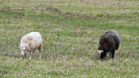 Sheep eat grass Stock Video Footage
